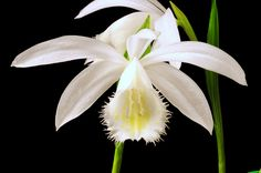 This are pictures of Pleione species and hybrids I am growing. Especially Pleione formosana and it's colorful varieties are easy to grow and have nice flowers. Exotic Flowers, Amazing Flowers, Orchid Flowers, Orchid Show, Orchidaceae, Wild Orchid, My Secret Garden, Companion Planting, Planting Flowers