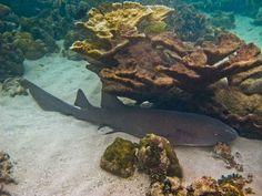 Nurse shark in the Pearl Keys  near #PearlLagoon  #coralreef #caribbean #seaturtles #snorkeling @KabuTours  www.kabutours.com Nurse Shark, Snorkeling, Caribbean, Keys, Tours, Pearls, Water, Outdoor, Diving
