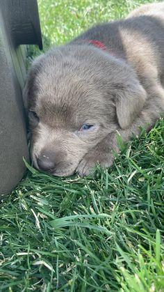 Labrador Puppies - Follow us @bigrunranches  #puppy #retriever #retrieveroftheday #labrador #puppies #puppiesforsale #silverlabrador #video #farmlife Silver Labrador Puppies, Black Labrador, Pitbull Dog Puppy, Silver Labs, Ranch Life, Cute Dogs And Puppies, Black Labs, Cute Funny Animals, Puppys