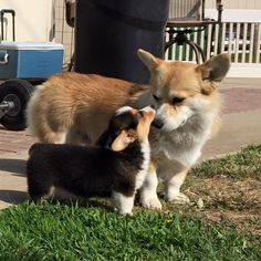 Woody and his little sister, Shiloh. Such sweet corgis Z