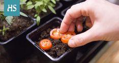 Kevät on jo niin pitkällä, että kevään kylvöt voi aloittaa. Yllättävän monesta kotikeittiön kasvin siemenestä saa kylvämällä satoa kesäksi tai kivan huonekasvin.