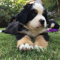 Bernese Mountain, Mountain Dogs, Baby Animals, Cute Animals, Cute Puppies, Animal Pictures, Panda, Pets, Board
