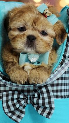 Teacup Shih Tzu puppies in south florida. Find some of the prettiest Shih Tzu puppies for sale with adorable faces. Teacup Shih Tzu, Teacup Puppies, Cute Puppies, Cute Dogs, Dogs And Puppies, Doggies, Bulldog Puppies, Shitzu Puppies, Poodle Puppies