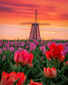 Tulips at the Wooden Shoe Tulip Festival How Beautiful, Beautiful Flowers, Beautiful Places, Beautiful Pictures, Beautiful Scenery, Amazing Places, Tulip Festival, Destination Voyage, Cool Landscapes