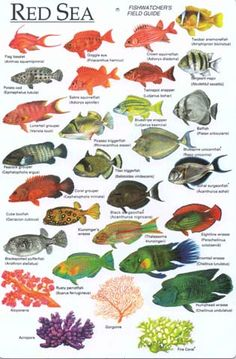Fish in the Red Sea Saltwater Aquarium, Aquarium Fish, Fish Chart, Salt Water Fish, Kunst Poster, Types Of Fish, Marine Fish, Animal Species, Ocean Creatures