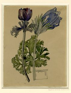 Drawing by Charles Rennie Mackintosh and Margaret Mackintosh. Anemone and Pasque Walberswick. Watercolour, over graphite, 1915.