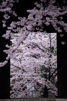 Cherry blossoms in Japan Japanese Culture, Japanese Art, Cherry Blossom Japan, Cherry Blossoms, Japan Sakura, Pink Snow, Japanese Landscape, Visit Japan, Japan Photo