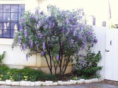 Texas mountain laurel -  Heat and drought tolerant. Makes an attractive evergreen accent to your landscape.      Full sun      Small tree or shrub      Grows up to 25 feet tall and 6 to 12 feet wide      Blooms lavender/purple clusters of fragrant flowers in Spring      Use as a patio tree or untrained as a screen      Native - Sophora secundiflora