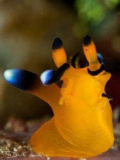 #nudibranch #yellow