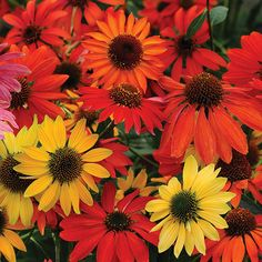 The 'Cheyenne Spirit' coneflower is an All American Selections winner, making it the perfect perennial to add to your garden: http://www.bhg.com/gardening/flowers/perennials/top-new-sun-loving-perennials-for-2014/?socsrc=bhgpin032815cheyennespiritconeflower&page=4