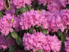 P.J.M. Regal Rhododendron (Rhododendron 'P.J.M. Regal') at Connon Nurseries CBV