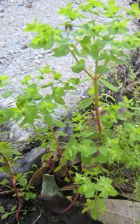 Radium Weed - how to use for removing small skin cancers and 'unusual' skin growths.