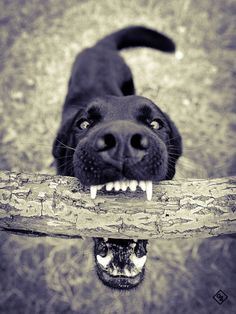 """Labrador retrievers, or """"Labs"""" as they've become fondly known, are one of the most popular dog breeds of our time. I Love Dogs, Cute Dogs, Fun Dog, Funny Animals, Cute Animals, Sweet Dogs, Tier Fotos, Dog Photos, Belle Photo"""