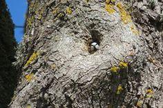 Sinitihane / Eurasian blue tit / Cyanistes caeruleus / Обыкновенная лазоревка / Blaumeise / Sinitiainen / Blåmes / Zilzīlīte by minestretked Surface Mining, Chaffinch, Blue Tit, Red Belt, Image, Instagram, Zebra Finch, Finches