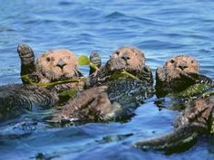 Sea Otters in Kelp, Monterey Bay, California Photographic Print by Frans Lanting at Art.com