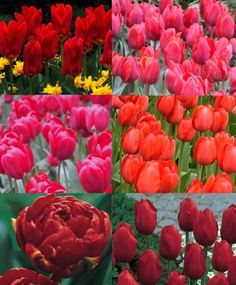 COLLECTION A: THE EARLY TO LATE RED TULIP GARDEN-NEW!