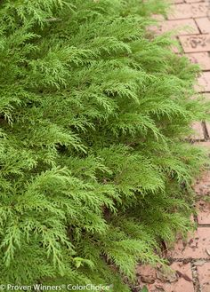 Although deer will eat almost any plant if they're hungry, they tend to leave Celtic Pride Siberian cypress alone. This evergreen shrub grows 1 to 3 feet tall and spreads 48 to 60 inches  Find groundcovers that stay green in winter with the experts at HGTV Gardens.