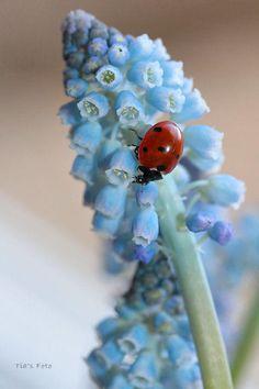 Ladybug on stalk of light blue flowers - by Tia van der Linden