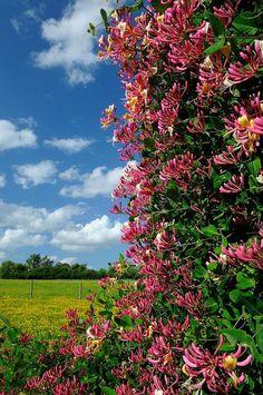 Wild Honeysuckle, Honeysuckle Flower, Honeysuckle Cottage, Garden Shrubs, Garden Plants, Summer Plants, Flowering Vines, Front Yard Landscaping, Large Flowers