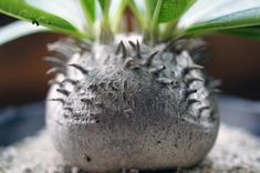 Pachypodium Densicaule 恵比寿大黒