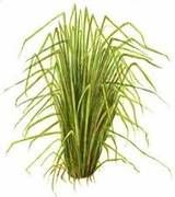 Vetiver is a grass native to Southern India, Sri Lanka and Indonesia