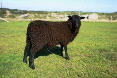 Islay one of our beautiful shetland sheep