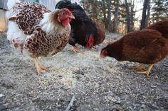 Kiełkowanie nasion dla kur