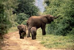 Tansania, Lake Manyara: mummy elephant with kids.