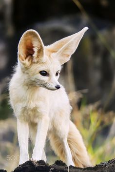 Fennec Fox by Timo Sivonen \\Can she fly?