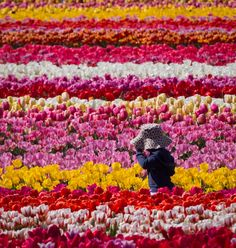 Around the world, tulips turn hillsides into colorful patchwork quilts - The Washington Post
