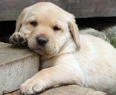 Awwww - cute yellow labrador puppy