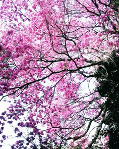 #ipê #rosa #flores #árvore #street #SãoPaulo #SP #tree #pink #sweet #art #photograph