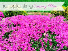 Transplanting Creeping Phlox ... everything you need to know! www.chaoticallycreative.com #gardening #gardentips