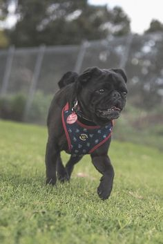 3 Reasons Why Your Pug Should Wear a Harness http://www.thepugdiary.com/3-reasons-pug-wear-harness/