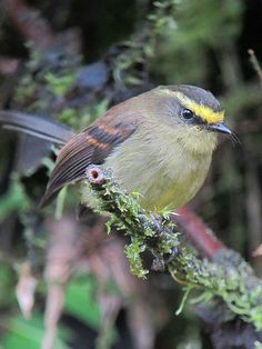 Yellow-bellied Chat-Tyrant (Ochthoeca diadema)