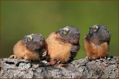 Saw-whet Owlets