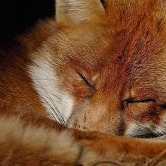 Photograph by @andyparkinsonphoto/@thephotosociety Red fox sleeping – During my 15 years as a professional wildlife photographer I have only ever worked with wild birds and mammals. In the early days that was an unusual stance and I was forever being told by the great and the good within the business that I'd have to work with captive species if I wanted to survive. There was one person however, one of the true greats of wildlife photography, that at the time had never worked with captive…