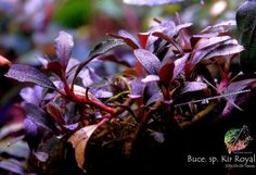 Another Beautiful Submersed of Bucephalandra Kir Royale bucephalandra kir royale from rainbow garden taiwan bucephalandra-species Bucephalandra - Export Import Plants & Fish Indonesia Freshwater Aquarium Plants, Live Aquarium Plants, Planted Aquarium, Aquascaping Plants, Nano Cube, Fish Gallery, Cool Fish Tanks, Indoor Water Garden, Rainbow Garden