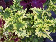 "Coleus 'Lemon & Lime' (large 18""+; upright)  Crisp, narrow, lime green leaves with hints of purple veining and a bright, lemon-yellow edge. Frilly and pretty! May not yet display full color when shipped early in the season. Sun tolerant.  $4.75"