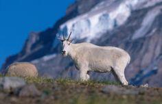 Mount Rainier National Park Animals | Image Gallery mount rainier wildlife