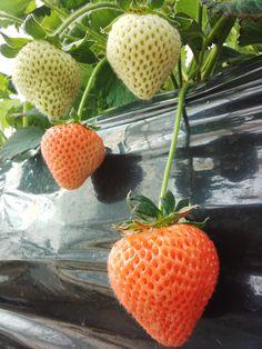 今シーズンの販売は5月末までを予定しております。 大粒の桃薫いちごからあふれる、芳醇な香りと甘みをぜひお楽しみください。 http://dear15.jp/2014/04/25/214/