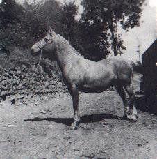 North Forks Black Earl Welsh Cob; TYNGWNDWN BEAUTY, pal. M, 1939 by CYMROR WY ex ISFRYN BESS