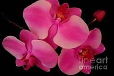 Pink Orchid Cluster with Bud by Mary Deal My Flower, Flowers, Pink Orchids, Bud, Greeting Cards, Mary, Wall Art, Rose, Plants