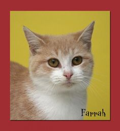 Meet Farrah a Petfinder adoptable Domestic Short Hair Cat | Aiken, SC | SPCA Albrecht Center for Animal WelfareRequirements for Adoption1. Most of our dogs will require a...