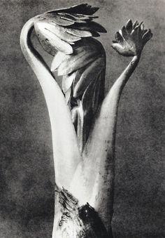 Karl Blossfeldt And His Stunning Macro Photography Karl Blossfeldt, History Of Photography, Macro Photography, Fine Art Photography, Straight Photography, Max Ernst, Botanical Art, Botanical Illustration, Perfumes Loewe