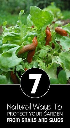 7 Natural Ways To Protect Your Garden From Snails and Slugs
