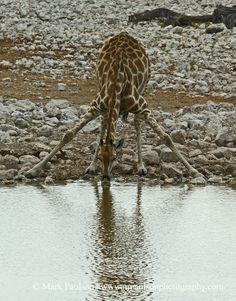 Giraffe (Giraffa camelopardalis) bending down to drink - Namibia | ©Mark Paulson.