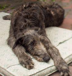 Sleepy Scottish deerhound. Tilt-Shift Finn by rob.brob on Flickr.Scottish Deerhound
