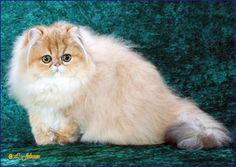 GC Dalee Lollipop Persian cat, Cats, Exotic shorthair cat