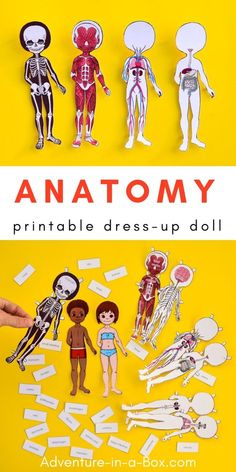 Study the human body anatomy with kids by making a set of printable anatomy paper dolls, with each layer showcasing a different body system! #anatomy #stemeducation #preschool #homeschool #homeschooling